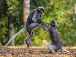 monkeys-fight